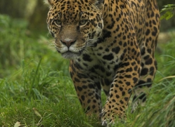 jaguar-4007-dartmoor-copyright-photographers-on-safari-com
