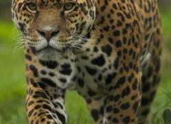 jaguar-4009-dartmoor-copyright-photographers-on-safari-com
