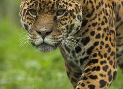 jaguar-4010-dartmoor-copyright-photographers-on-safari-com