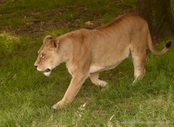 lion-4037-dartmoor-copyright-photographers-on-safari-com
