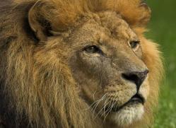 lion-4039-dartmoor-copyright-photographers-on-safari-com