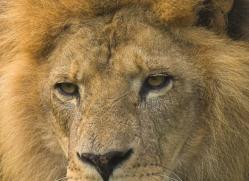 lion-4042-dartmoor-copyright-photographers-on-safari-com