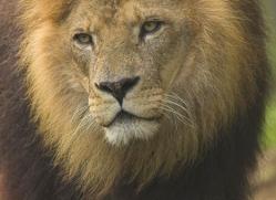 lion-4043-dartmoor-copyright-photographers-on-safari-com