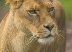 lion-4044-dartmoor-copyright-photographers-on-safari-com