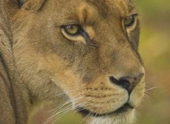 lion-4048-dartmoor-copyright-photographers-on-safari-com