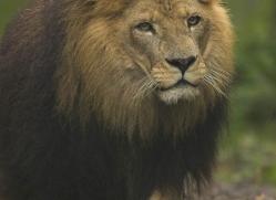 lion-4053-dartmoor-copyright-photographers-on-safari-com