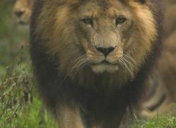 lion-4056-dartmoor-copyright-photographers-on-safari-com