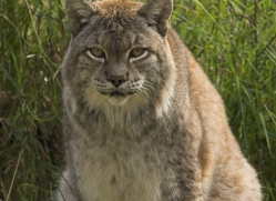lynx-4090-dartmoor-copyright-photographers-on-safari-com