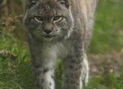 lynx-4091-dartmoor-copyright-photographers-on-safari-com