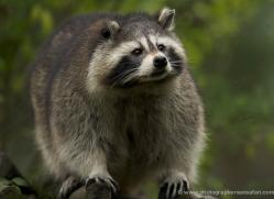 raccoon-4080-dartmoor-copyright-photographers-on-safari-com