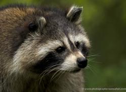 raccoon-4082-dartmoor-copyright-photographers-on-safari-com