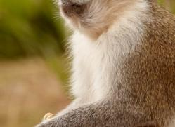 vervet-monkey-4098-dartmoor-copyright-photographers-on-safari-com