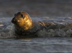 seal-donna-nook-099-copyright-photographers-on-safari-com