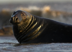 seal-donna-nook-100-copyright-photographers-on-safari-com