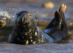 seal-donna-nook-112-copyright-photographers-on-safari-com