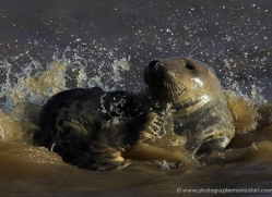 seal-donna-nook-114-copyright-photographers-on-safari-com