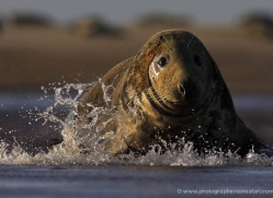 seal-donna-nook-116-copyright-photographers-on-safari-com