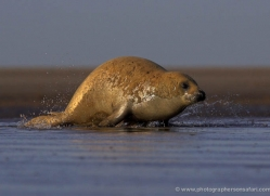 seal-donna-nook-119-copyright-photographers-on-safari-com