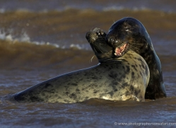 seal-donna-nook-130-copyright-photographers-on-safari-com