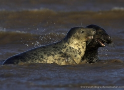 seal-donna-nook-131-copyright-photographers-on-safari-com