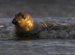 seal-donna-nook-099-copyright-photographers-on-safari-com