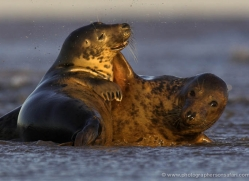seal-donna-nook-101-copyright-photographers-on-safari-com