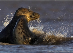 seal-donna-nook-105-copyright-photographers-on-safari-com