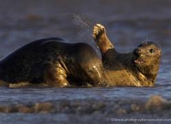 seal-donna-nook-106-copyright-photographers-on-safari-com