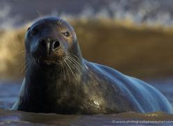 seal-donna-nook-108-copyright-photographers-on-safari-com