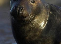seal-donna-nook-109-copyright-photographers-on-safari-com