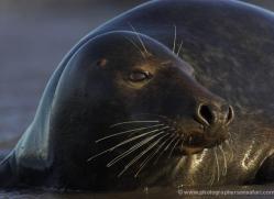 seal-donna-nook-110-copyright-photographers-on-safari-com