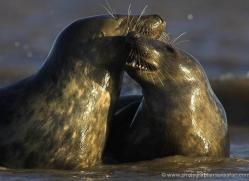 seal-donna-nook-111-copyright-photographers-on-safari-com