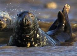 seal-donna-nook-112-copyright-photographers-on-safari-com
