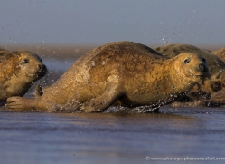 seal-donna-nook-117-copyright-photographers-on-safari-com
