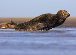 seal-donna-nook-118-copyright-photographers-on-safari-com