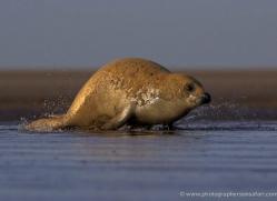 seal-donna-nook-119-copyright-photographers-on-safari-com