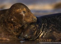 seal-donna-nook-120-copyright-photographers-on-safari-com