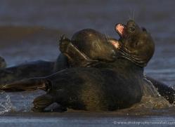 seal-donna-nook-125-copyright-photographers-on-safari-com