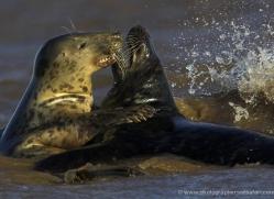 seal-donna-nook-127-copyright-photographers-on-safari-com