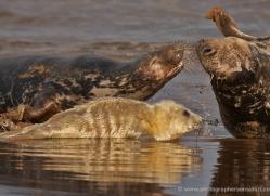 seal-donna-nook-196-copyright-photographers-on-safari-com