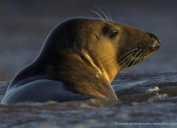 seal-donna-nook-102-copyright-photographers-on-safari-com