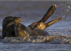 seal-donna-nook-104-copyright-photographers-on-safari-com