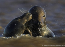 seal-donna-nook-113-copyright-photographers-on-safari-com