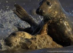seal-donna-nook-115-copyright-photographers-on-safari-com