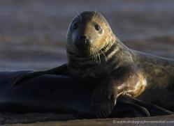 seal-donna-nook-121-copyright-photographers-on-safari-com