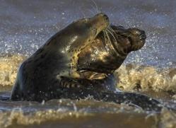seal-donna-nook-126-copyright-photographers-on-safari-com