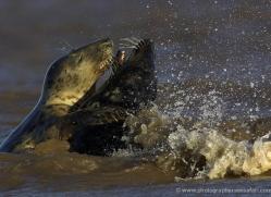 seal-donna-nook-128-copyright-photographers-on-safari-com