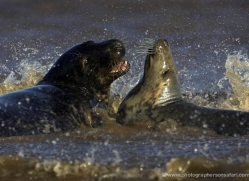 seal-donna-nook-132-copyright-photographers-on-safari-com