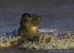 seal-donna-nook-133-copyright-photographers-on-safari-com
