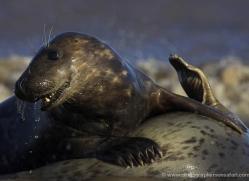 seal-donna-nook-135-copyright-photographers-on-safari-com